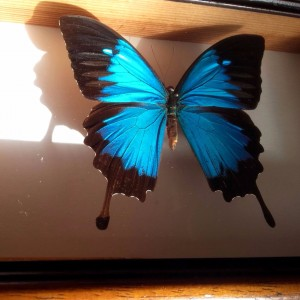 papillon bleu (1)